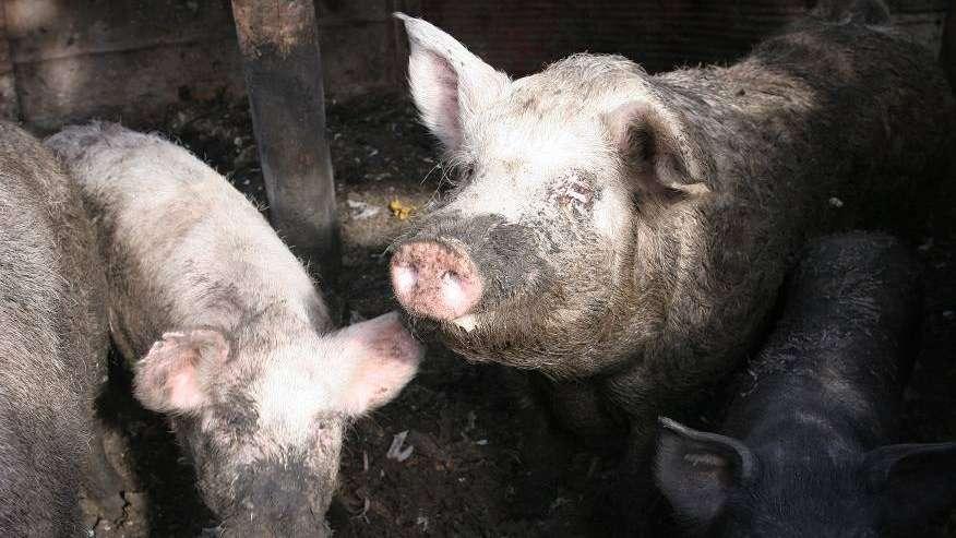 Aumentó la producción y el consumo de cerdo