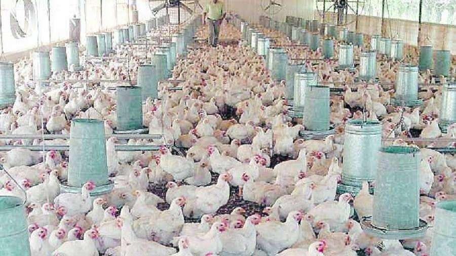 Producción avícola local pelea para sobrevivir