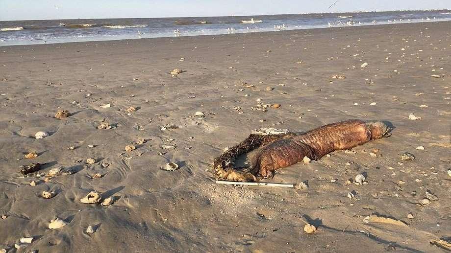 El monstruo marino que apareció tras el huracán Harvey y desconcierta a todos