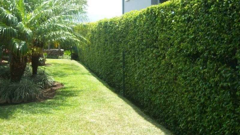 Tres plantas ideales para cercos verdes - Cercas para jardines ...