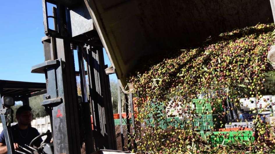 Preocupa la situación del sector olivícola en Mendoza