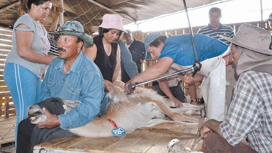 Puesteros de La Payunia se unen para esquilar guanacos