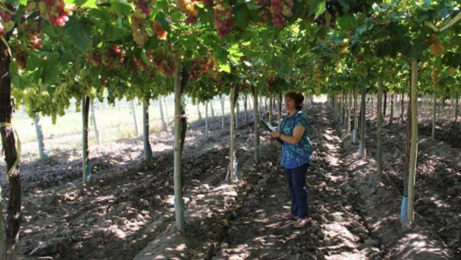 Uvas de mesa:  nuevas opciones para el consumo en fresco