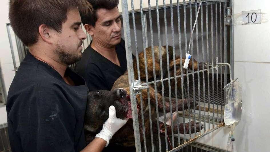 """Tiger, el perro que sobrevivió a un petardo en el hocico, """"no está fuera de peligro"""""""