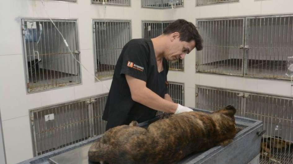 Tiger recibió una transfusión de sangre y sigue en terapia tras ser herido con un petardo