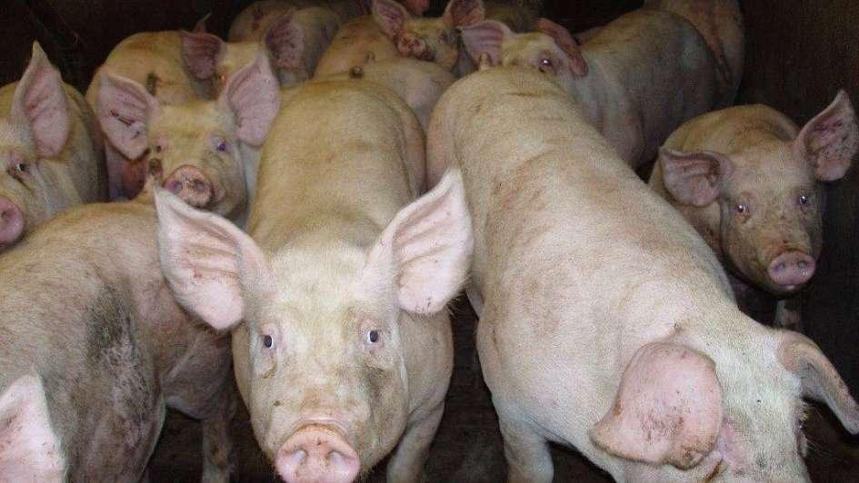 Mercado porcino: un sector con perspectivas de expansión