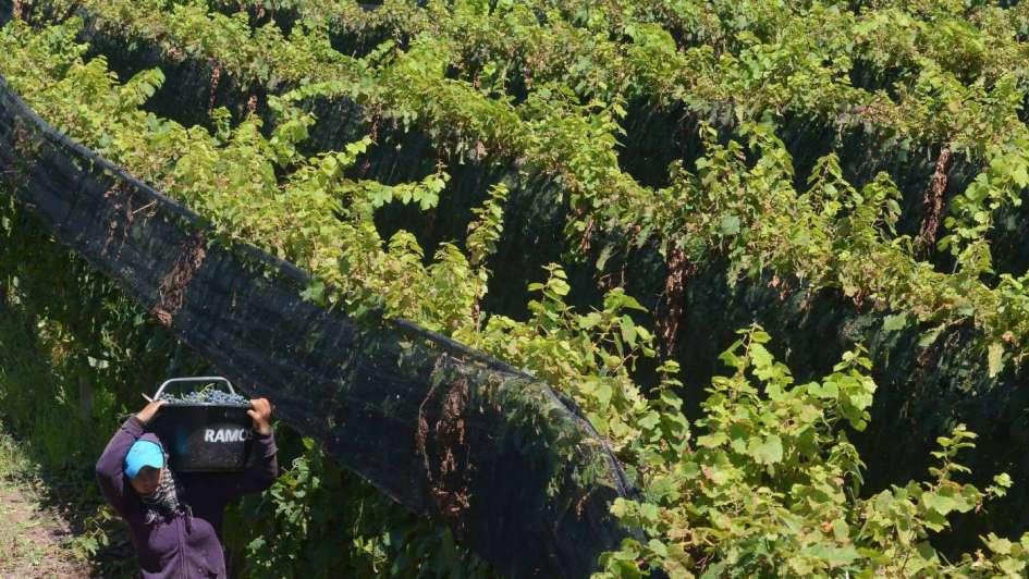 Trabajo infantil: Vendimia y cosecha