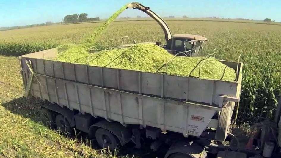 Ensilaje de maíces y sorgos:  una alternativa para forrajes