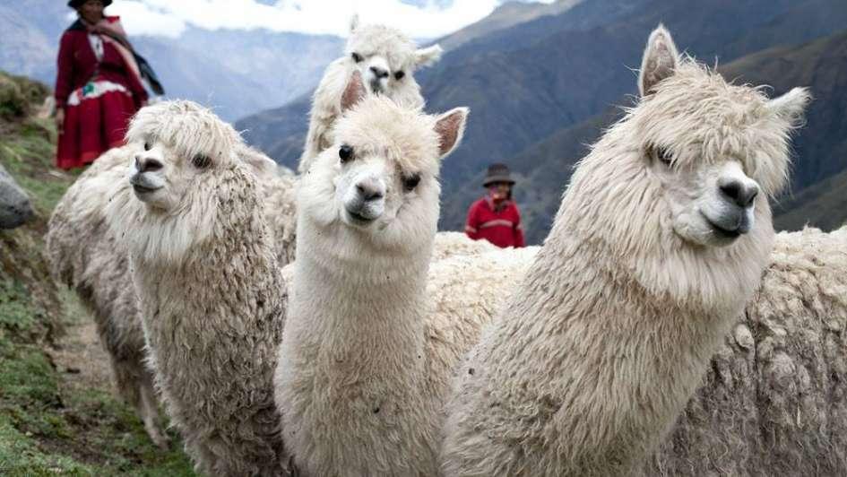 Mueren más de 171.000 alpacas por el frío en Perú