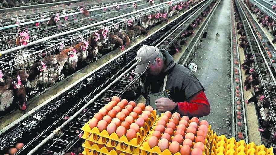 """Llegan al país los huevos """"libres de jaula"""" y amenazan a la producción local"""