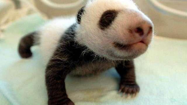 La guardería de pandas existe, y es el lugar más tierno del mundo