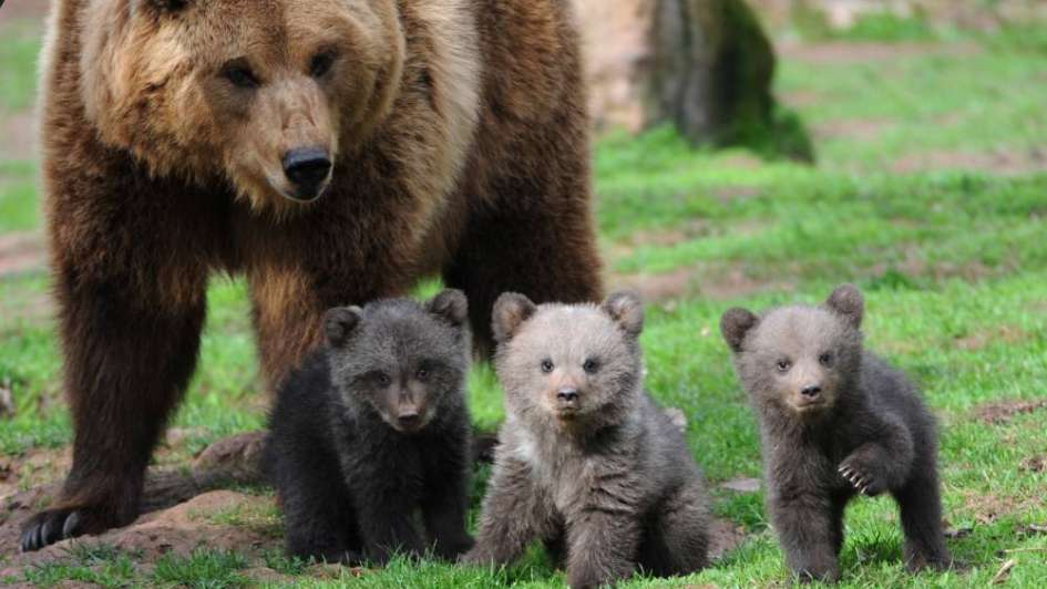 Los osos se comunican a través del olor de sus pies y danzan para dejar bien marcada su huella