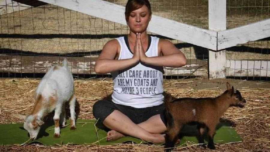 Rutina junto a cabras, una moda en Estados Unidos