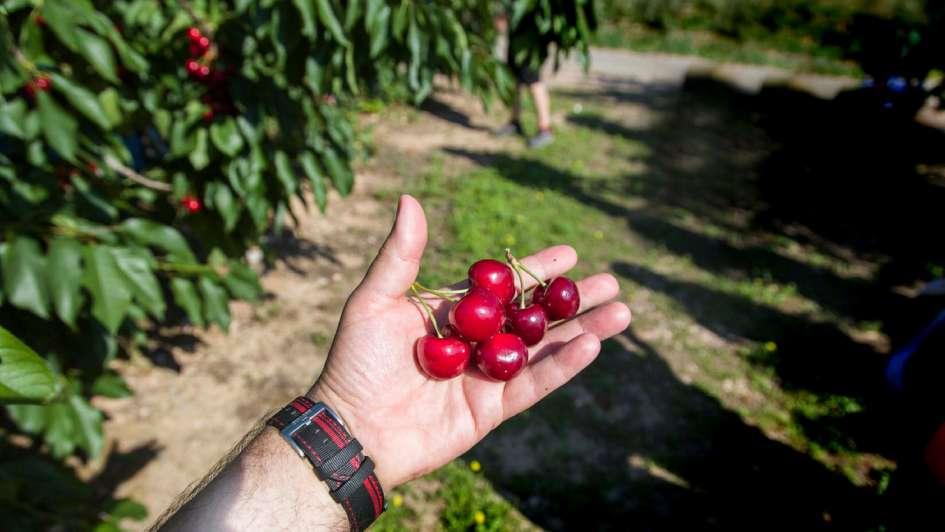 Cerezas: preocupa la falta  de mano de obra