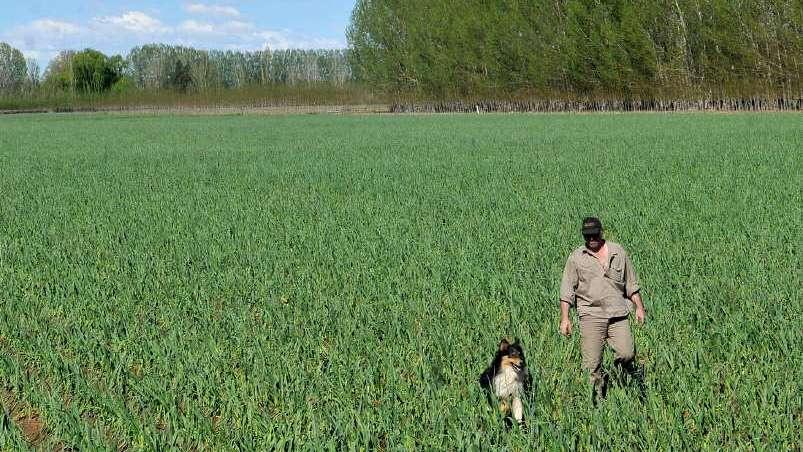 El IDR estimó 10.500 hectáreas de ajo para esta temporada