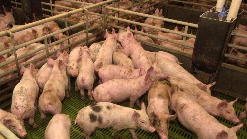 La importación de carne de cerdo subió 62,8% interanual entre enero y julio