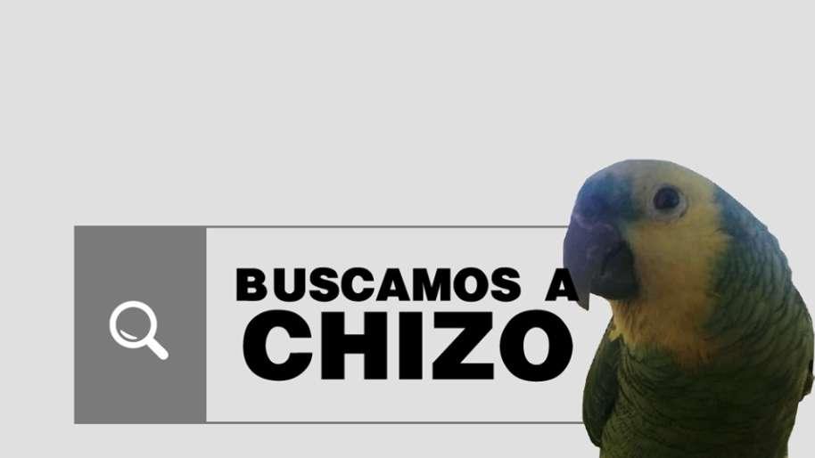 Chizo, el loro exótico perdido que tiene en vilo a Chacras de Coria