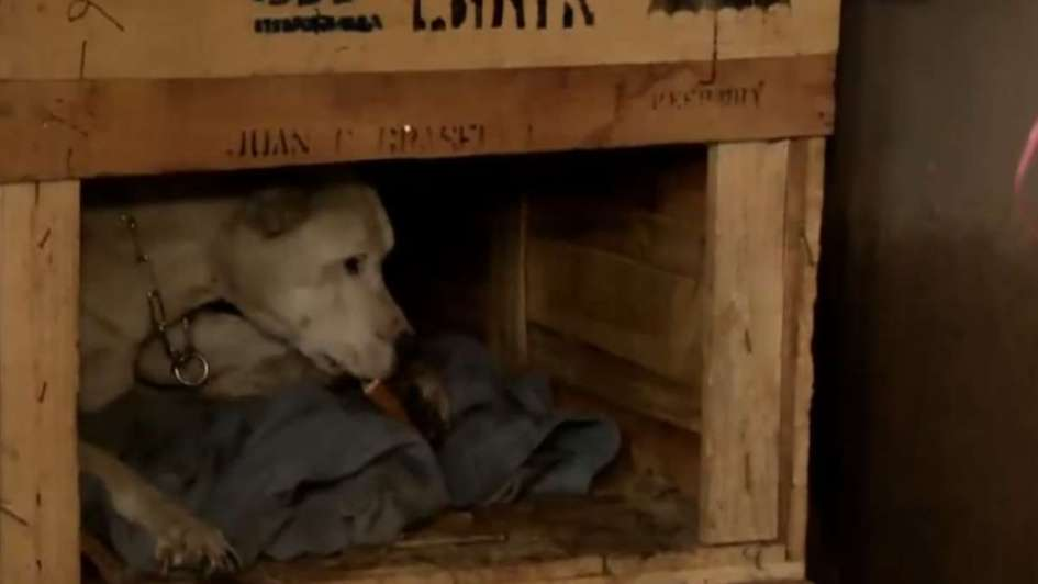 Rescataron a una perra brutalmente maltratada e imputaron a su dueña