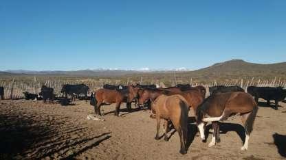 Los animales secuestrados en el Sur provincial.