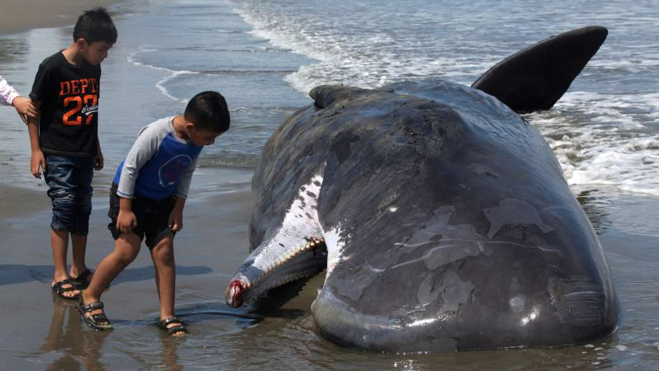 En un megaoperativo rescataron a seis cachalotes varados en la isla de Sumatra