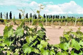 Según el Iscamen, es la plaga que más daño ha hecho a los viñedos.