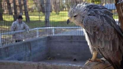 Águila Coronada antes de ser liberada.