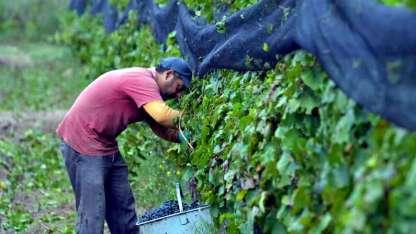 Los productores injertan variedades de mayor calidad.