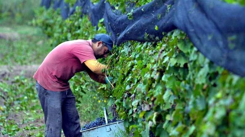 Avanza el plan de reconversión vitivinícola