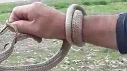 Un hombre se animó a capturar la culebra ratonera y la llevó a su hábitat natural