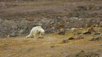 El oso polar se arrastra en busca de comida