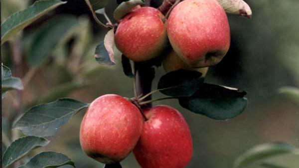 Ley de emergencia para productores de manzanas y peras