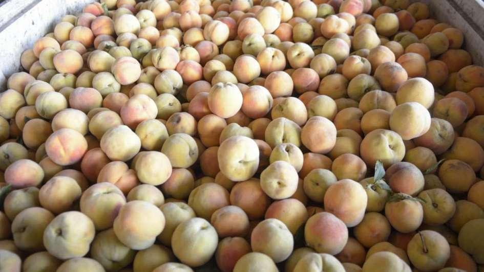 Más de tres mil productores de durazno de la provincia están en riesgo en la provincia