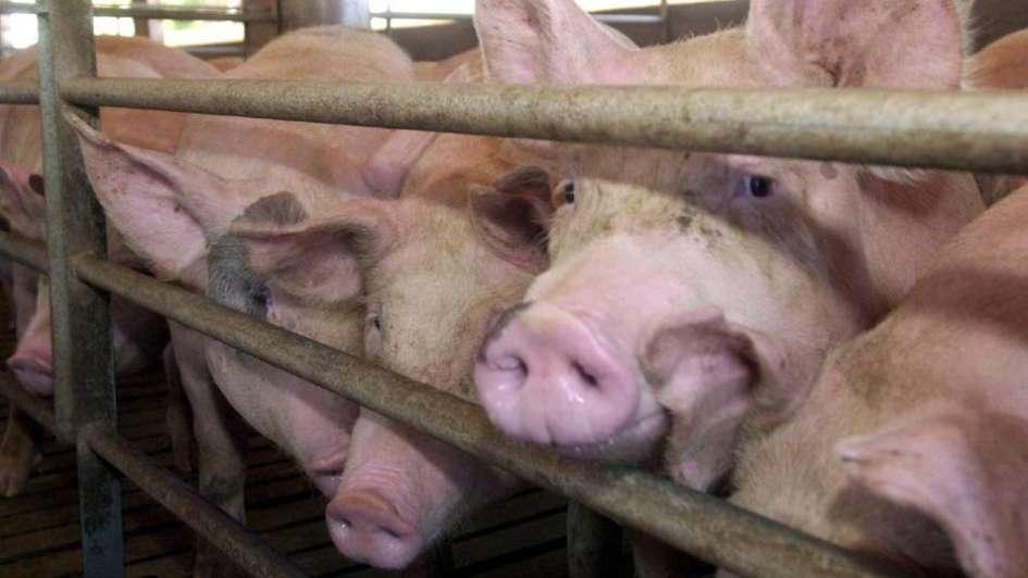 Porcinos: la situación del sistema agroalimentario argentino - Por Rubén Suárez