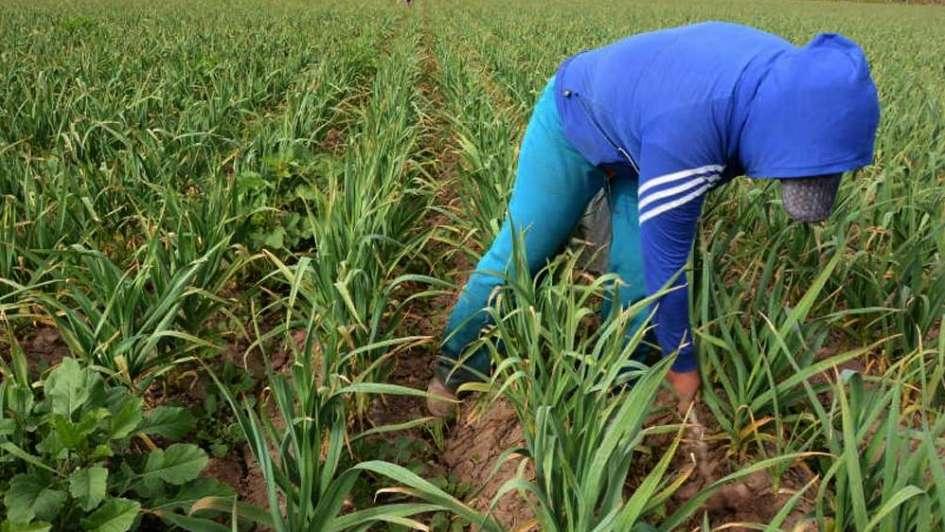 En Mendoza aconsejan realizar análisis del ajo que vaya a usarse como semilla