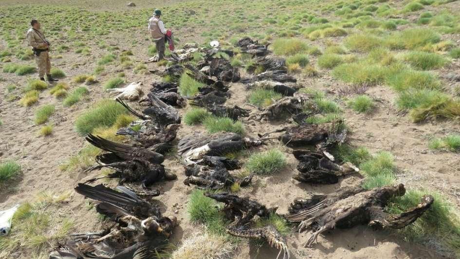 Encontraron 34 cóndores y puma muertos — Desastre ecológico