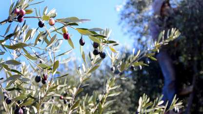 Alertan sobre los olivos que se arrancan.