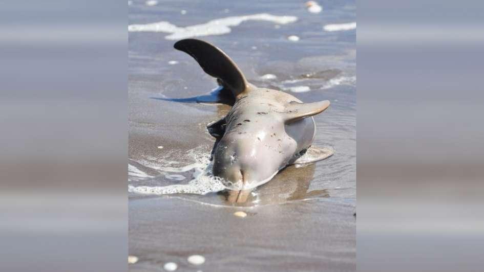 Aparecieron 14 delfines muertos en las playas del Partido de La Costa
