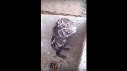 ¿Ternura o crueldad? La verdad sobre el video viral de la rata que se baña sola