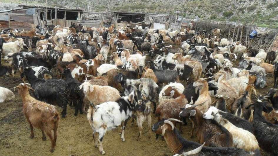 Carne de cabra: un sabor regional con potencial gastronómico