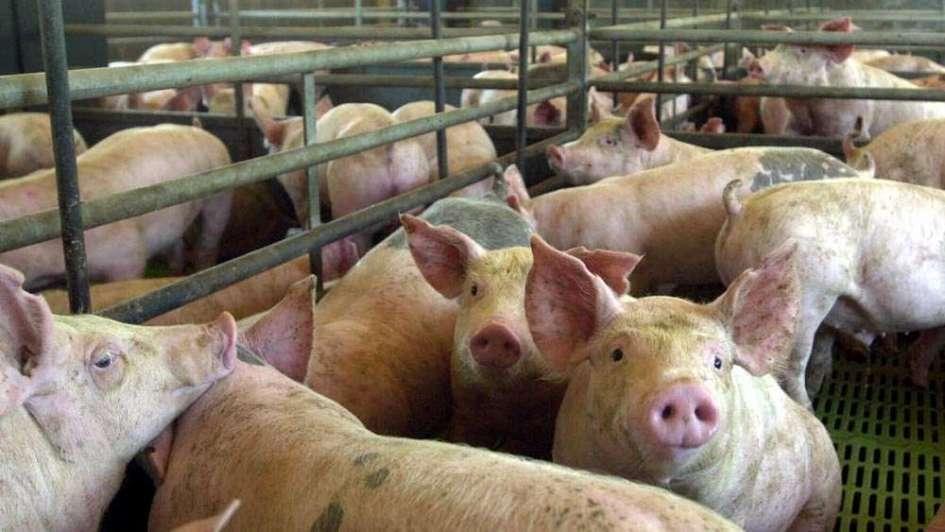 La faena de cerdo fue récord en 2017