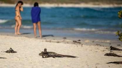 Un grupo de iguanas marinas toman sol en la bahía Turtuga, en la isla Santa Cruz.
