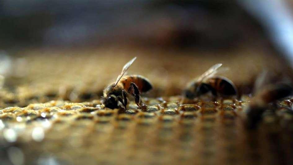 Buena cosecha de miel para Mendoza
