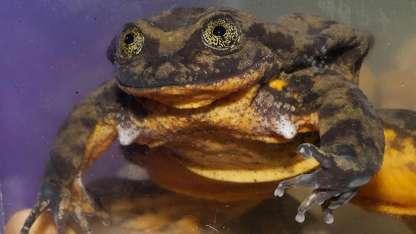 La rana de agua Sehuencas 'Romeo' en una pecera del Museo de Historia Natural en Cochabamba.