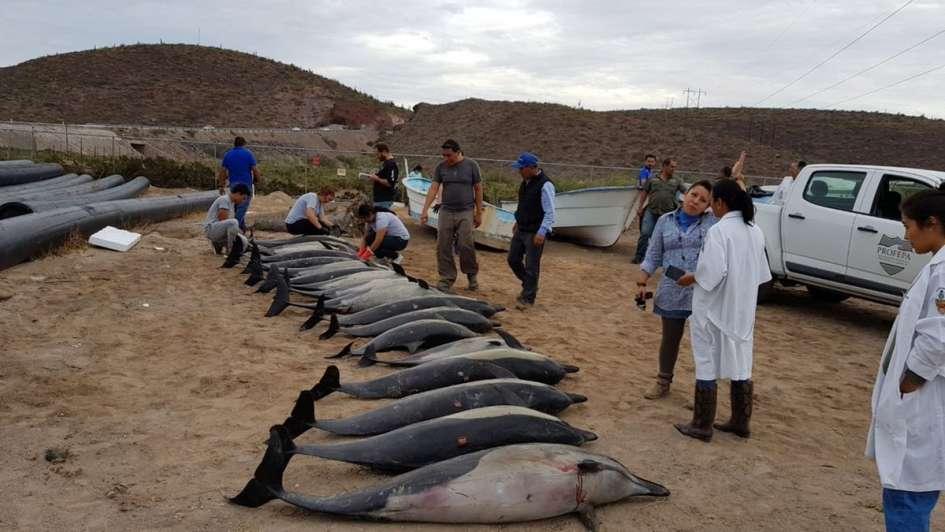 Mueren 21 delfines en varamiento