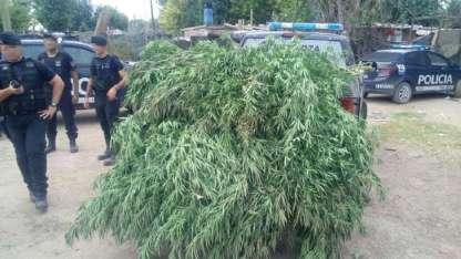 Algunas de las plantas de marihuana secuestradas en Las Heras.
