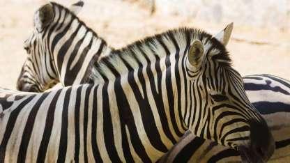 El recinto de las cebras fue uno de los mayores atractivos del ex Zoo.