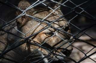 Pumas en el Ex Zoo