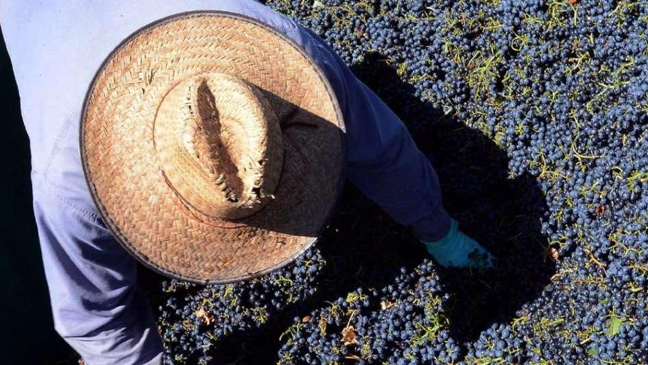 Vendimia 2018: avanza la cosecha con buena cantidad y calidad excepcional en Mendoza