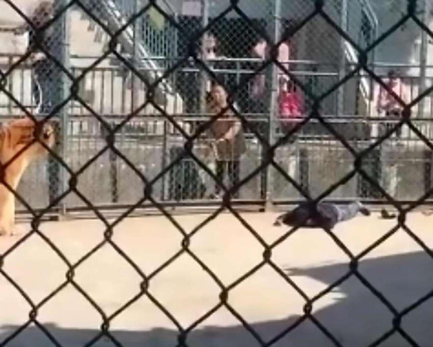 Empleado de zoológico es asesinado por un tigre