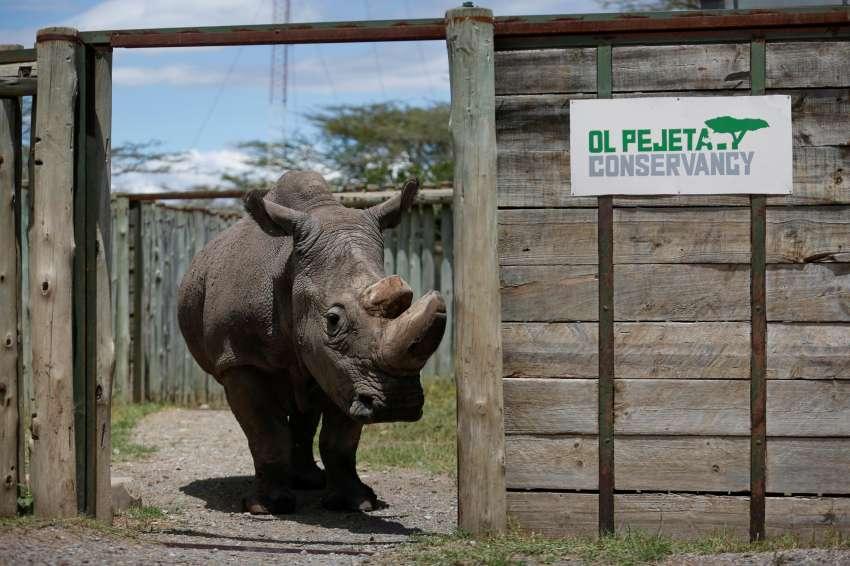 Sacrifican a Sudán, el último rinoceronte blanco macho del mundo